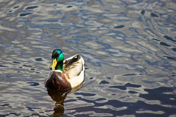 Sitting Duck thumbnail