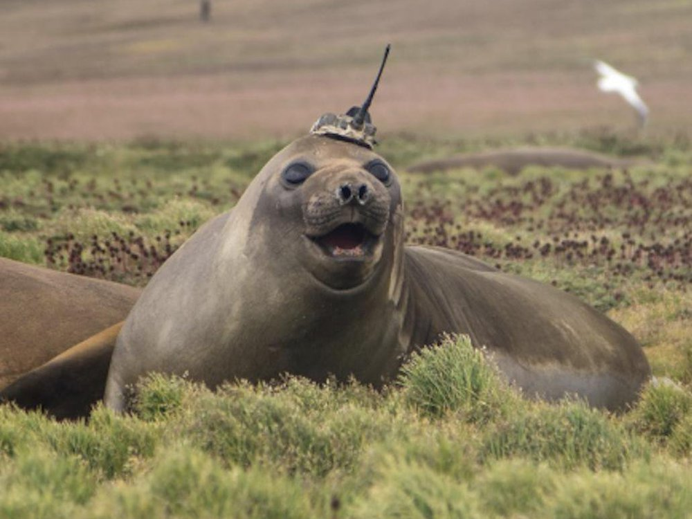 Seal wearing hat with sensor