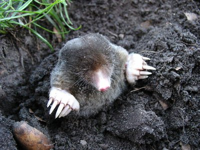 Mole Day celebrates the mole unit of chemistry, not these guys, as cute as they are