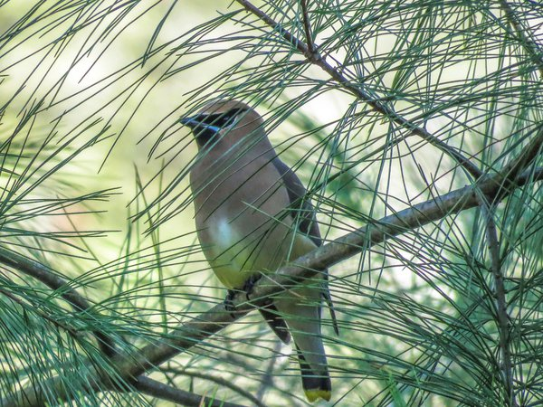 Cedar Waxwing in the Pines thumbnail