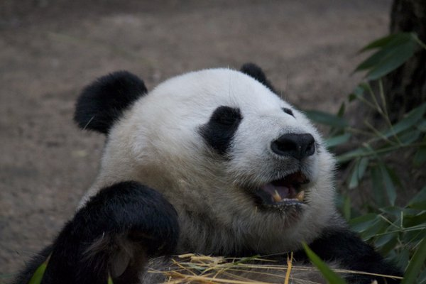 Panda enjoying her bamboo lunch thumbnail