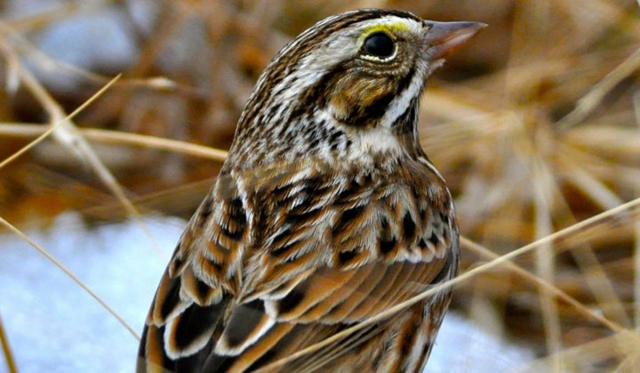 A Savannah sparrow stands on a patch of melting snow in a warm-season grass field in Virginia. (Amy Johnson, Smithsonian's National Zoo and Conservation Biology Institute)