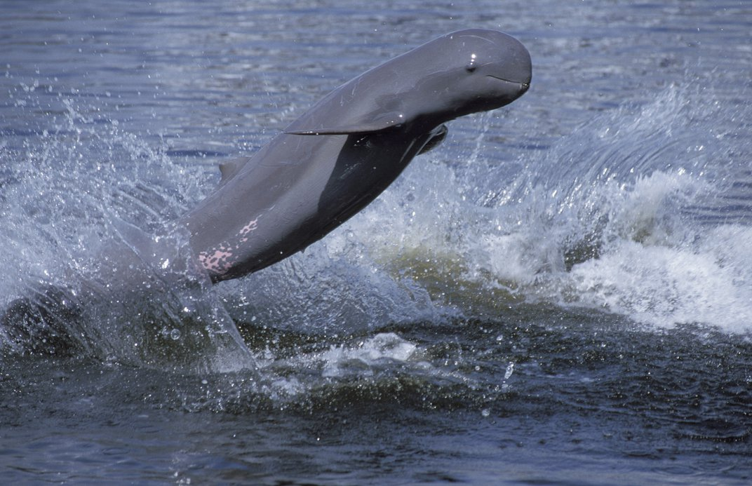 The Mekong River population of Irrawaddy dolphins is listed as critically endangered. Photo: Roland Seitre/Minden Pictures/Corbis