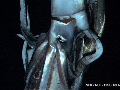 A screenshot of the first video of a giant squid in the wild.
