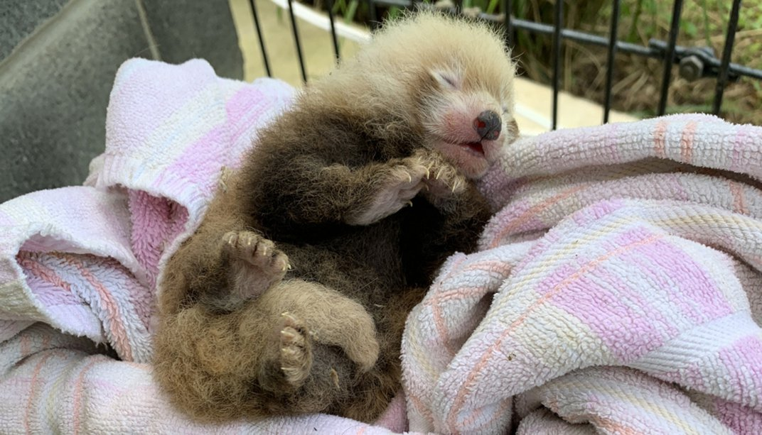 A small red panda cub with thick, coarse fur, large paws and closed eyes rests on a towel to be weighed during a routine checkup.