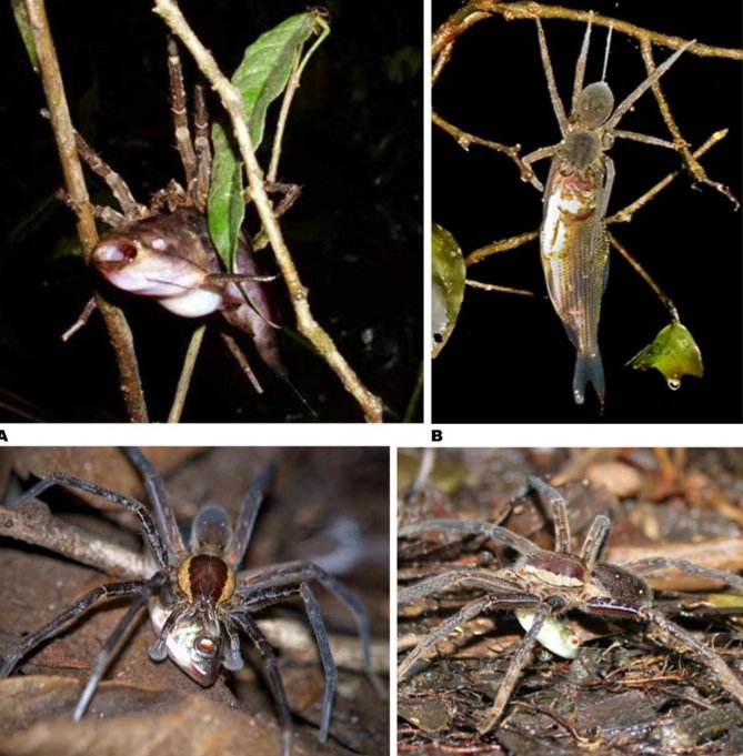 Fish dinner party in the tropics: (clockwise from the top) An Ancylometes spider chomping down on a catfish in Ecuador; A Ctenid spider in Peru; two more Ancylometes spiders enjoying the bounty of successful fishing trips in Ecuador. Photo: PLoS One