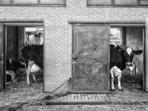 Long Cow thumbnail