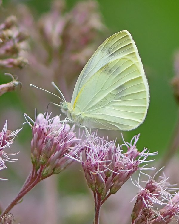 Joe Pye Weed and Female Cabbage White Butterfly thumbnail