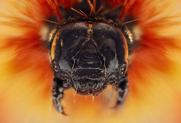 Extreme macro portrait of caterpillar thumbnail