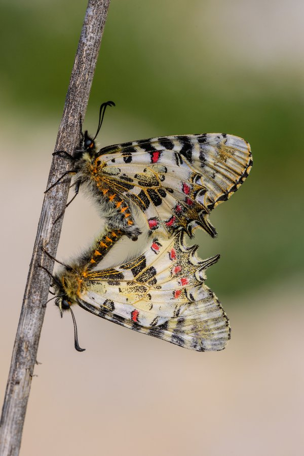 A mating pair of Eastern Festoons thumbnail