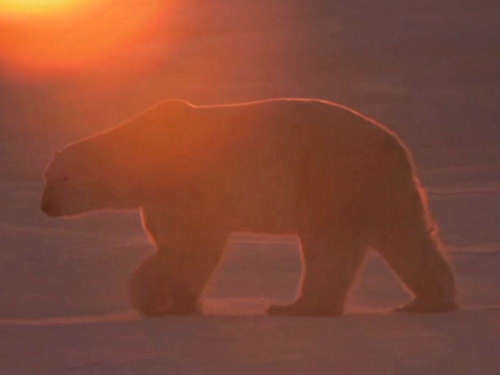 2013110509102511_05_2013_polar-bear-cam.jpg
