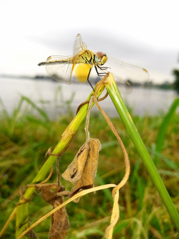Out of the blue is a yellow dragonfly. thumbnail
