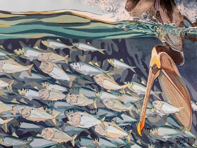 A pelican dives for dinner among an unsuspecting school of fish.