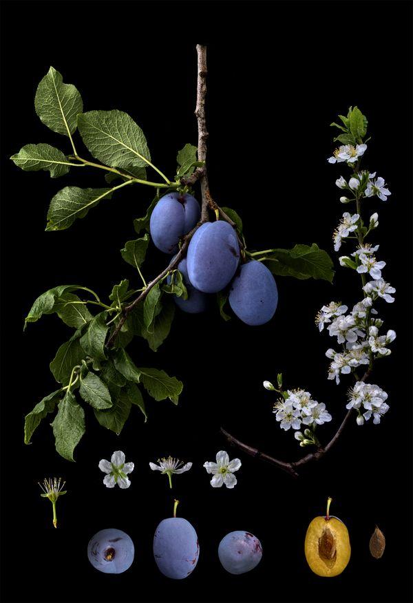 Prunus domestica 'Barbank Grandprize' thumbnail