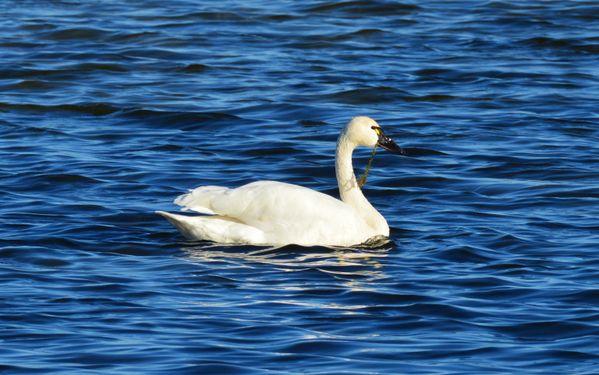 Tundra Swan thumbnail