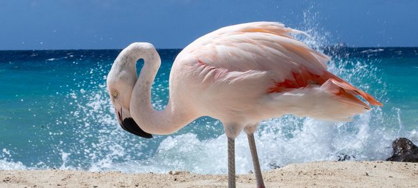 Flamingo in Aruba thumbnail