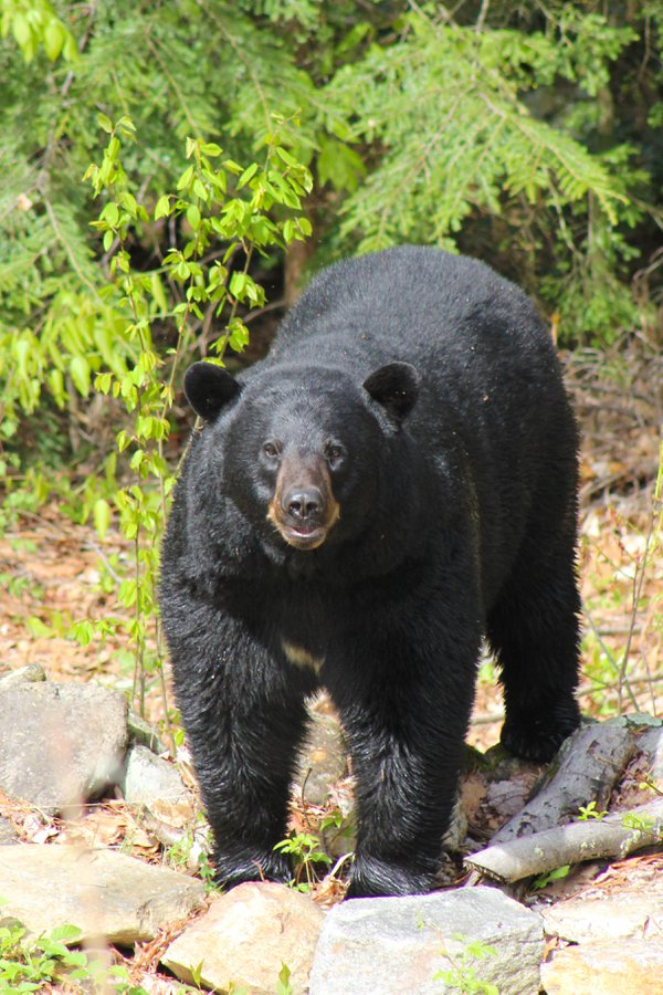 Large black bear visitor. thumbnail