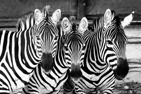 Three zebras thumbnail