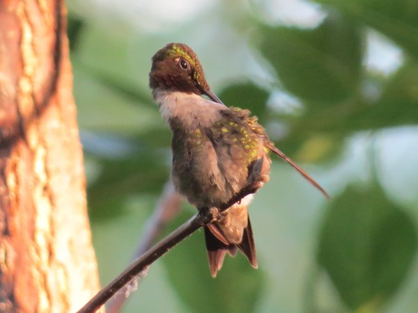 Humming Bird in tree thumbnail
