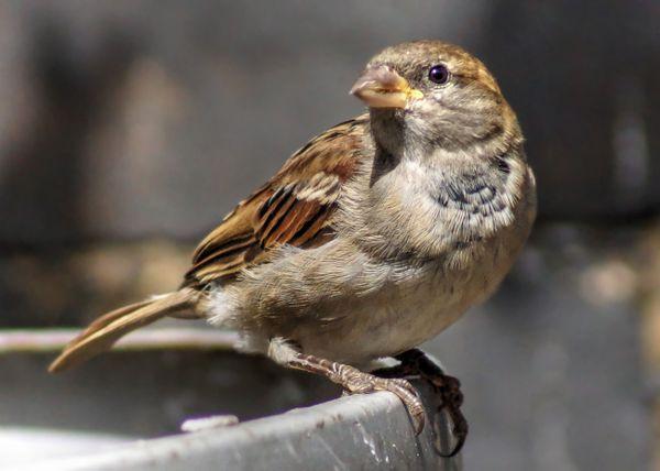 Sparrow thumbnail