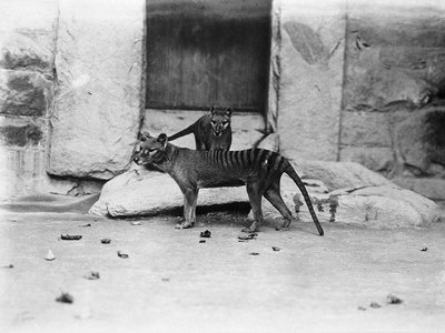 Two thylacines at the Smithsonian National Zoo around 1905. A thylacine brain from the Smithsonian Institution was scanned as part of a study to learn more about the extinct marsupial, but it is unclear whether that brain belonged to one of the animals pictured.