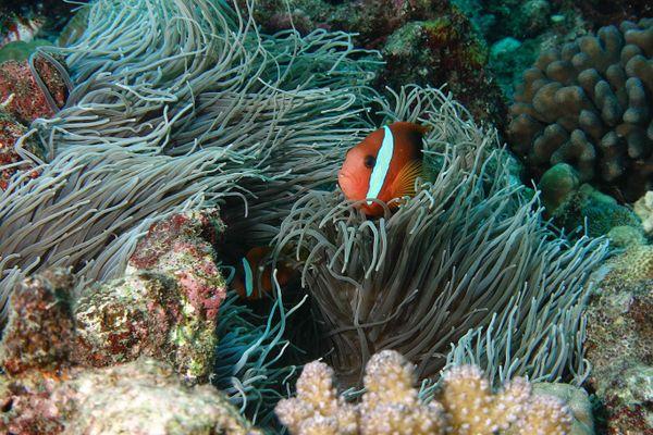 Symbiosis between a Clown fish and Sea Anemone  thumbnail