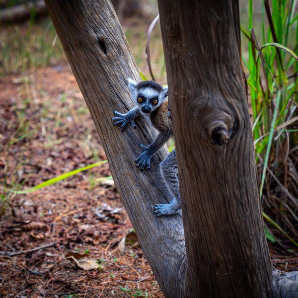 Baby Ring Tailed Lemur thumbnail
