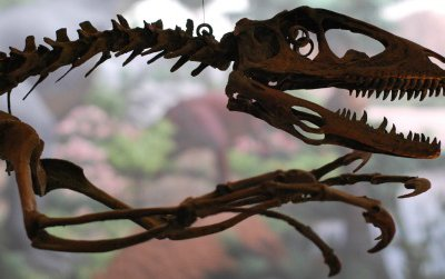 The reconstructed skeleton of a Deinonychus, a dromaeosaur, at Yale's Peabody Museum of Natural History.