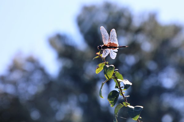 Dragonfly On  A Bush thumbnail