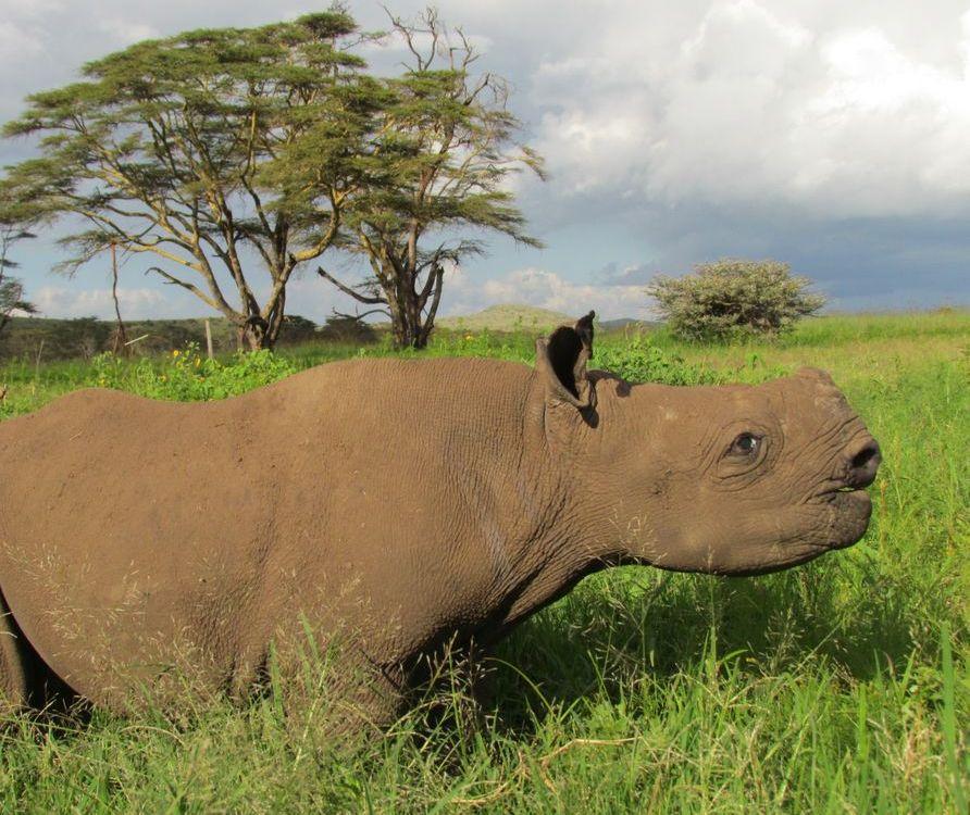 Meet Nicky, the blind baby rhino