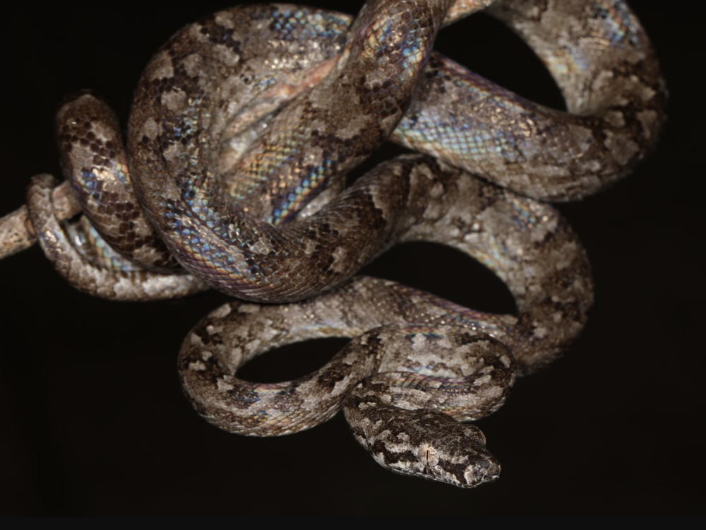 A boa clings to a tree branch
