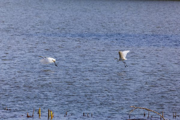 """""""This is my area"""", claims the egret and chases the other. thumbnail"""