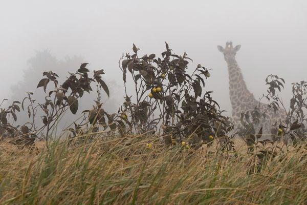 A giraffe in the fog 2 thumbnail