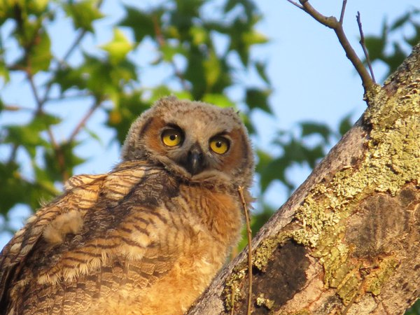 The twinkle in the eyes of a Great Horned Owl Baby in Annapolis Maryland thumbnail