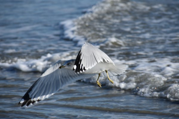 Gliding Seagull thumbnail