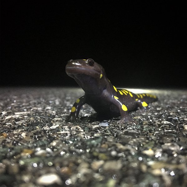 Spotted salamander crossing a road to a vernal pool thumbnail