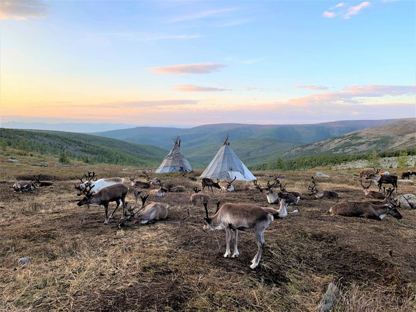 Reindeer & Teepees At Sunset In Nothern Mongolia thumbnail