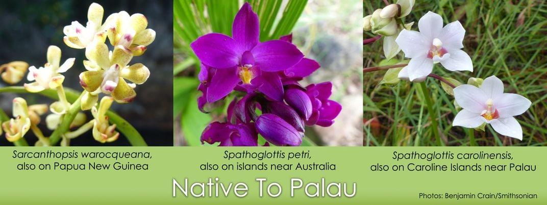 Three orchids native to Palau (yellow Sarcanthopsis warocqueana, purple Spathoglottis petri, and white Spathoglottis carolinensis)