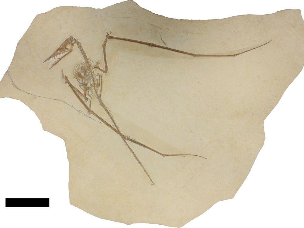 Pterosaur with coprolite