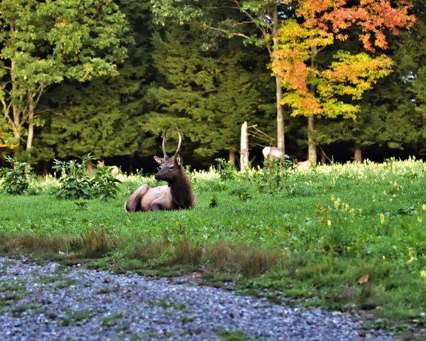 Young bull elk along the trail. thumbnail