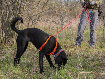 Seen here, conservation canine Betty White sniffs the ground while she trains to search for bumble bee nests.