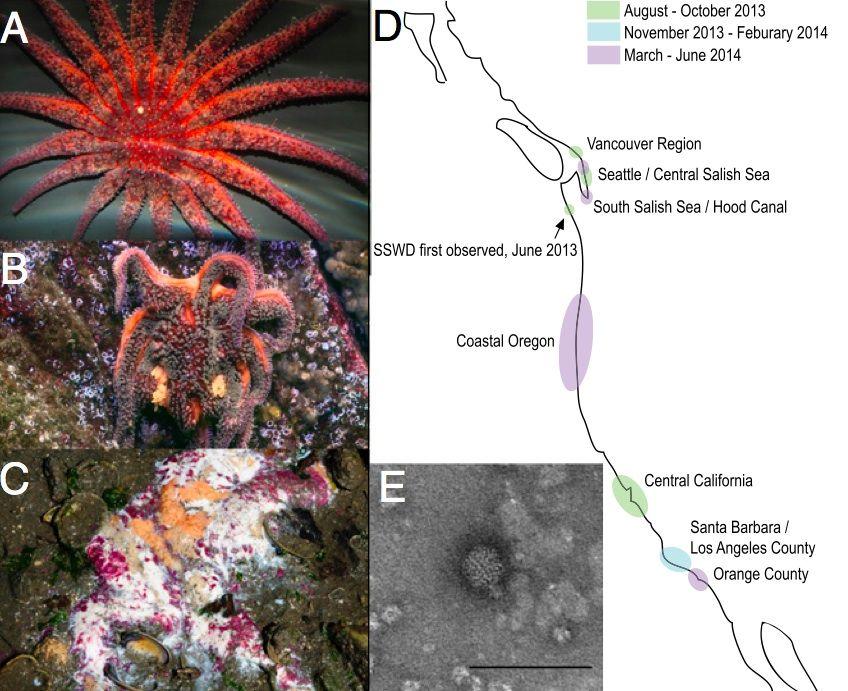 The sea star death march: A) A healthy sunflower sea star B) An infected sea star C) A sea star goo pile D) Disease occurrence E) The viral culprit (Hewson et al., <em>PNAS</em>)