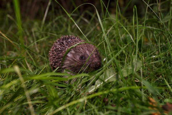 Hedgehog In The Grass thumbnail