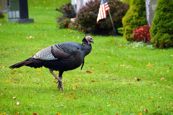 Spotted this turkey on my walk. thumbnail