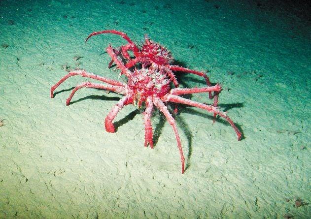 King crabs