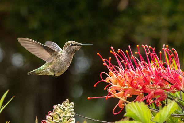 Hummingbird Feeding thumbnail