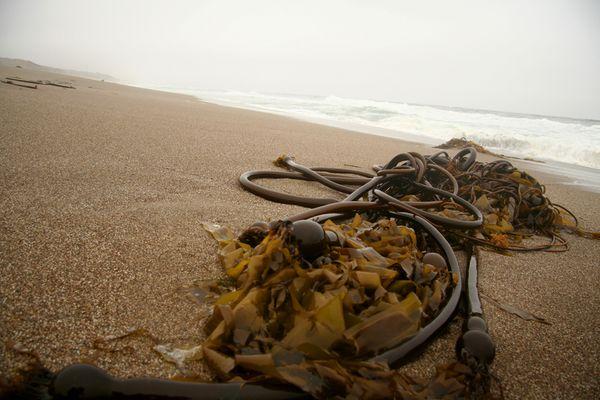 Kelp on the rainy beach at Point Reyes, CA thumbnail