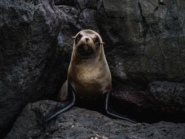 Fur Seal in Galapagos thumbnail