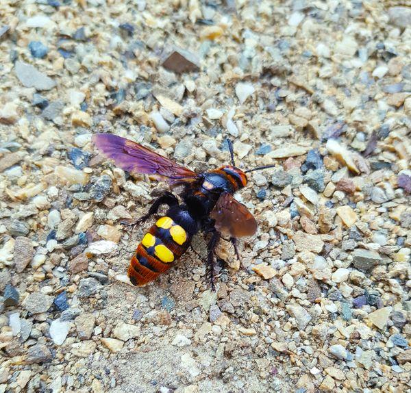 The handsome hornet thumbnail