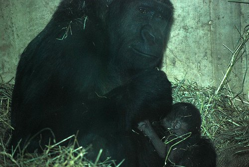 gorilla_national_zoo_baby_baraka_mandara.jpg
